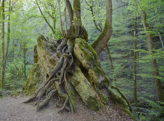 나무는 뿌리에 사는 균에 따라 뿌리 굵기가 달라진다 - 위키미디어 제공